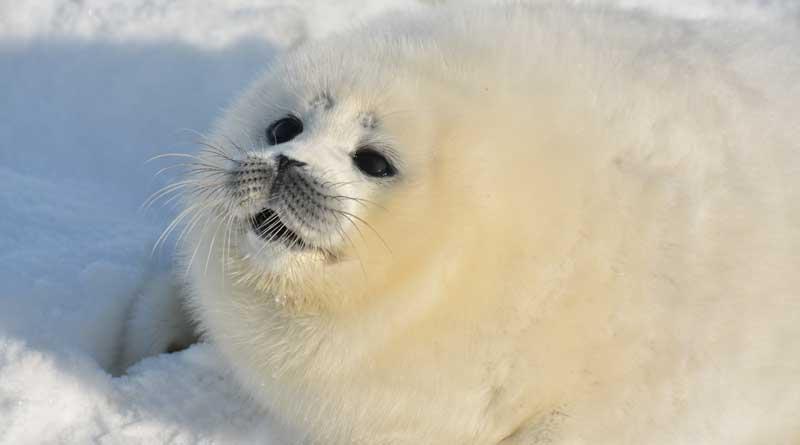 the Caspian seal pup, the Northern Caspian, Kazakhstan