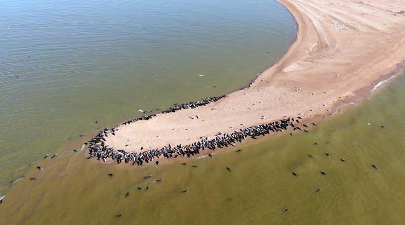 The haul-out site of Caspian seals on Maly Zhemchuzhny. Photo by Maxim Perkovsky.