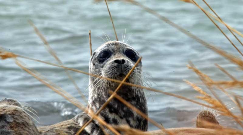 A Caspian seal, Kendirly, Kazakhstan, spring, 2017.
