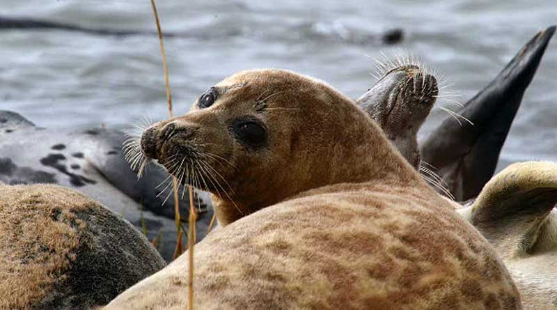 Photo by M.T. Baimukanov, the Director of the Institute of Hydrobiology and Ecology (Irgeli, Kazakhstan). Caspian seals.