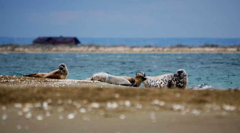 Каспийские тюлени, Кендирли, весна 2015 года.