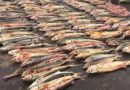 A large batch of sturgeons was seized in Kazakhstan