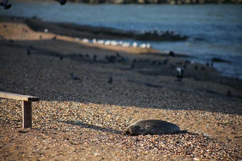 Каспийский тюлень. Махачкала, Дагестан.