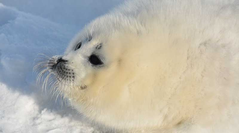 Photo by Dmitry Glazov. The Caspian seal pup. The Northern Caspian, February, 2019.