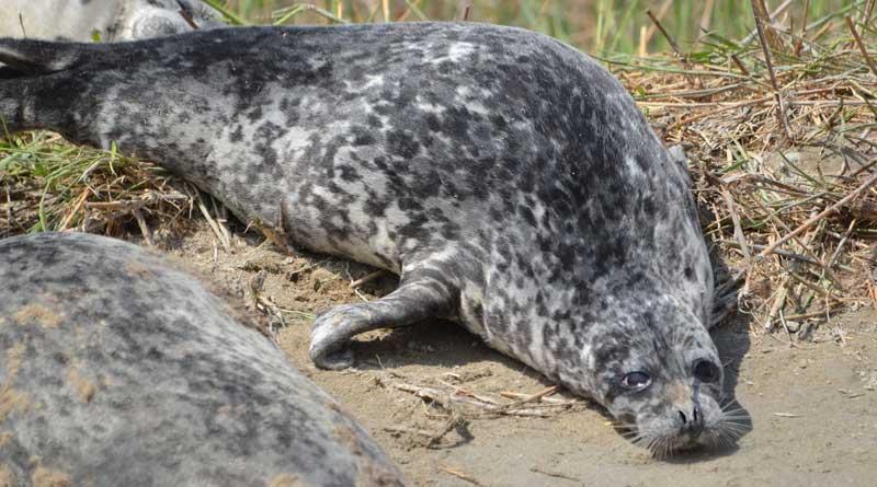 The Caspian seal. The Komsomolskiy Bay, spring, 2016.
