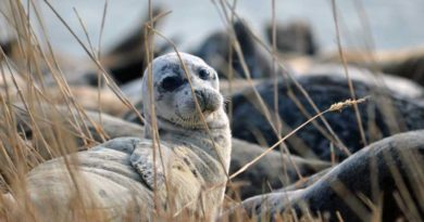 About prospects for the development of counting, tagging of the Caspian seal