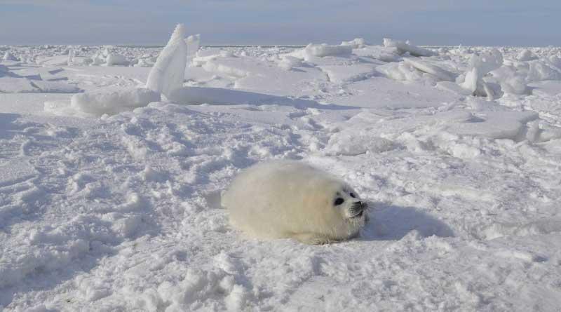 Белёк. Северный Каспий. Фотография Наталии Шумейко, руководителя Агентства по спасению каспийских тюленей «Каспика».