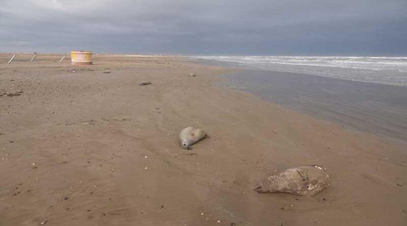 Погибшие тюлени на дагестанском побережье Каспия, декабрь 2020 года.