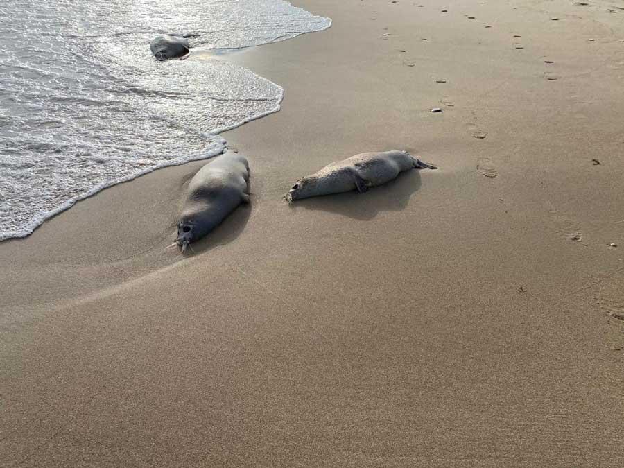 Выброшенные на дагестанский берег каспийские тюлени. Махачкала, 10 декабря 2020 г. Фотография Ирины Суворовой.