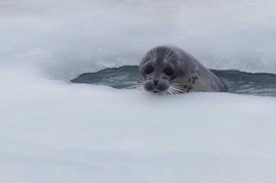 Каспийский тюлень. Фотография Наталии Шумейко, 2019 г.