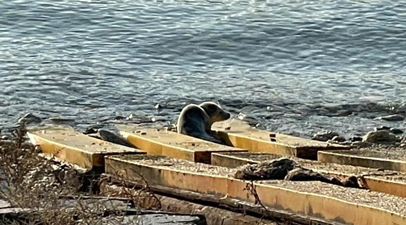 The Caspian seal pup, the Caspian Seal Research and Rehabilitation Center, Aktau, Kazakhstan.
